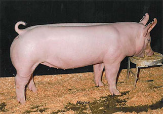 Holliday Show Pigs Win...
